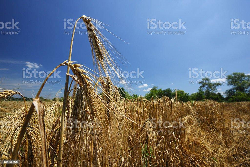 Wheat stock photo