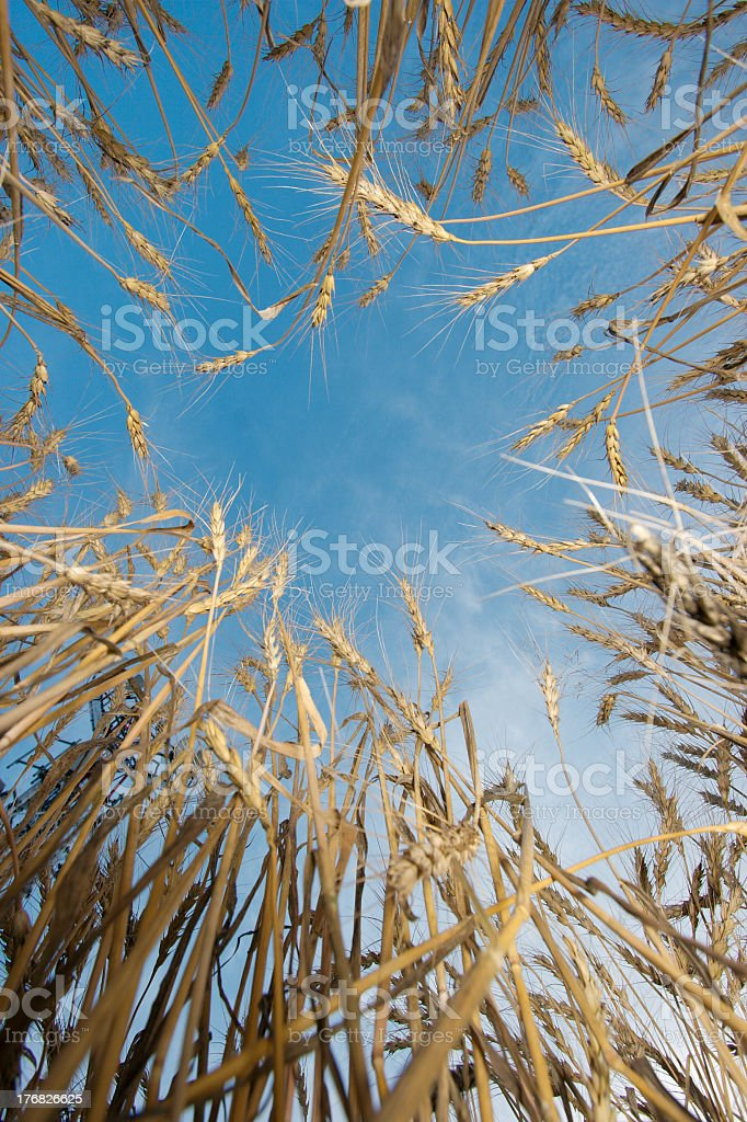 Wheat royalty-free stock photo