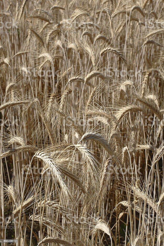 3/3 wheat royalty-free stock photo