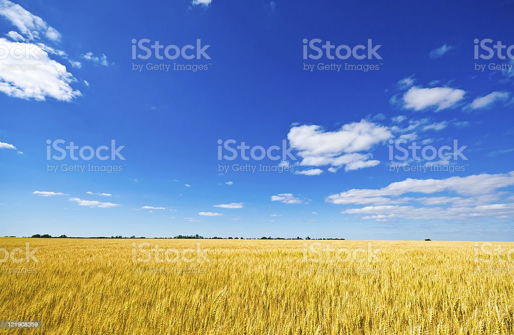 Wheat plant meadow under a blue sky royalty-free stock photo