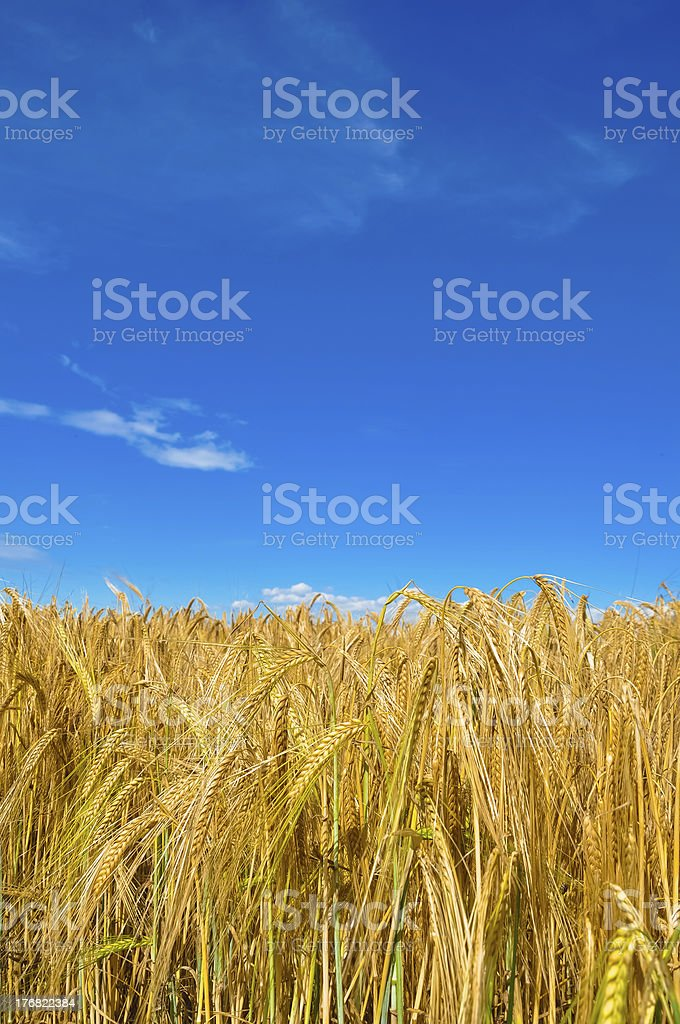 Wheat plant meadow with blue sky royalty-free stock photo