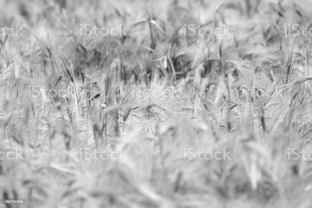Wheat plant royalty-free stock photo