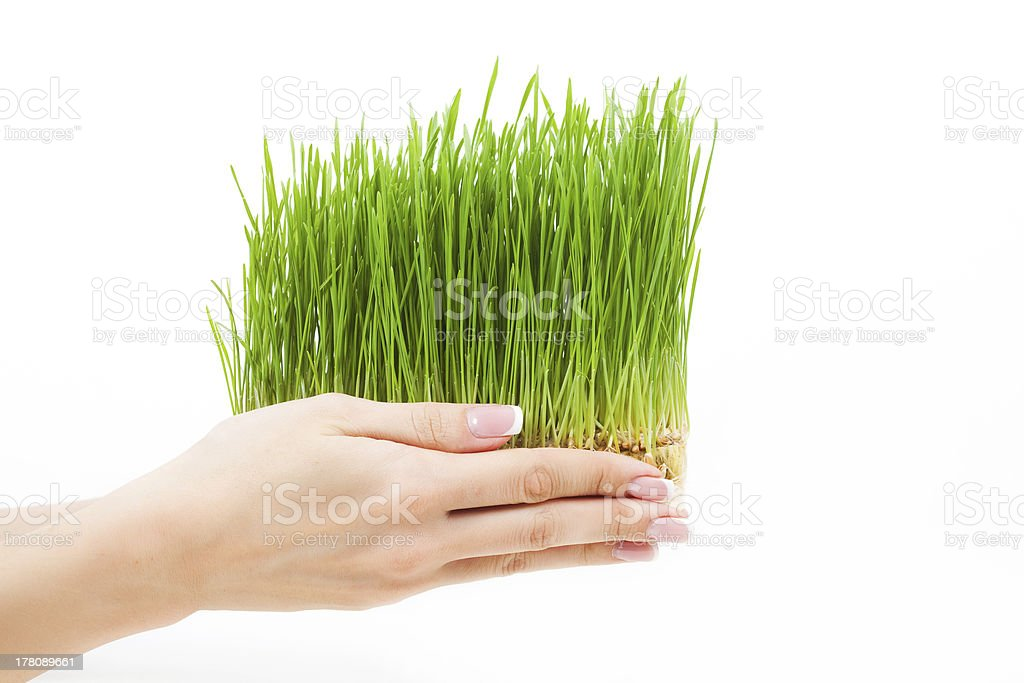 wheat seedling on the hand royalty-free stock photo