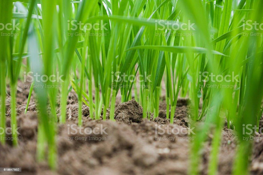 wheat seedlings growing in soil stock photo