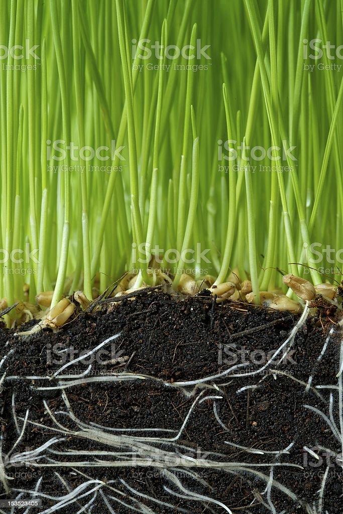 Wheat seedlings royalty-free stock photo