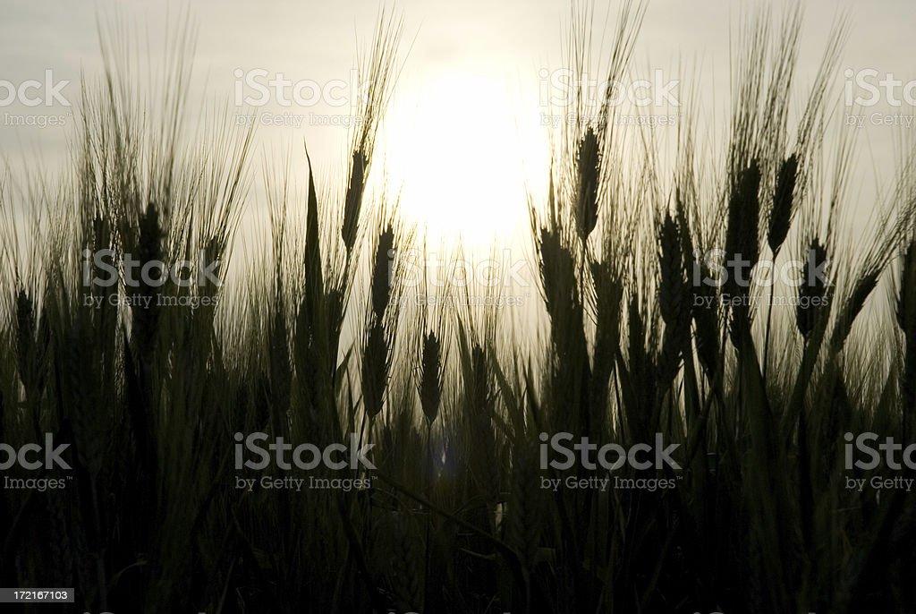 Wheat shapes stock photo