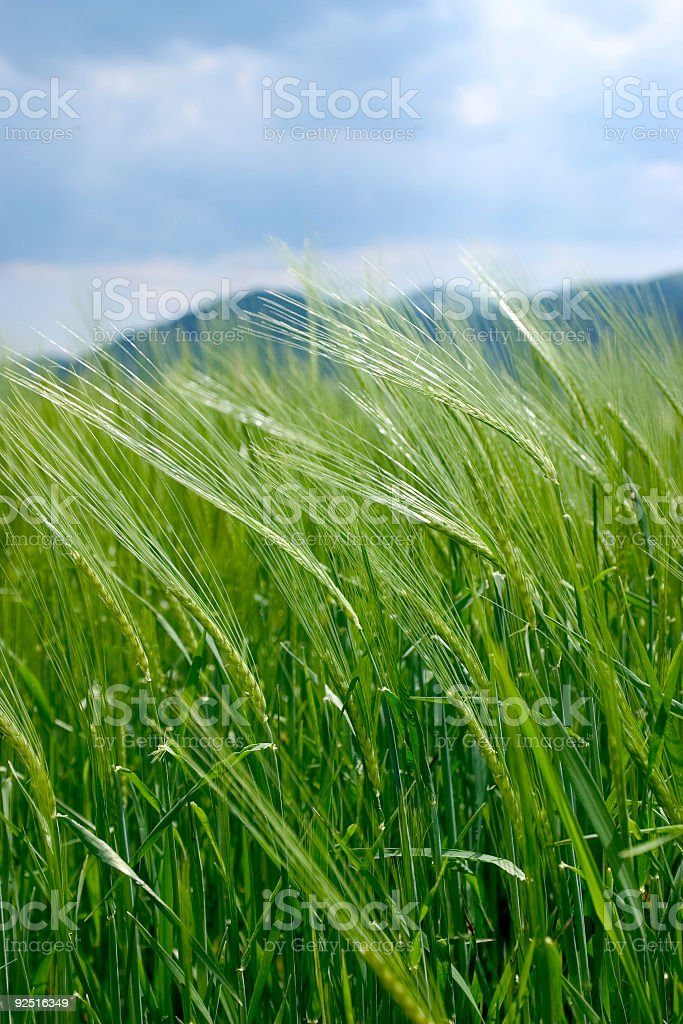 Wheat shot royalty-free stock photo