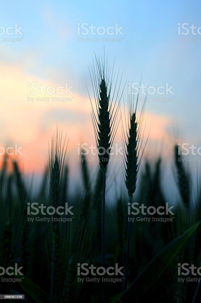 Wheat  Silhouette stock photo