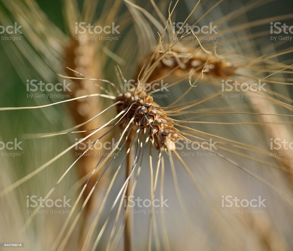 Wheat spike in foreground stock photo
