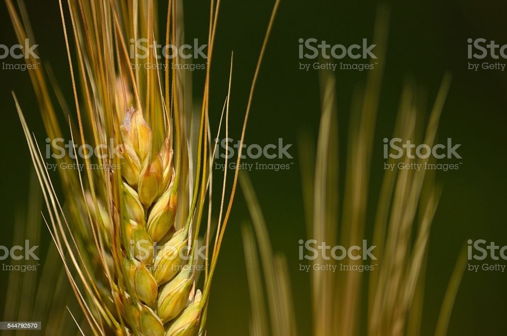 Wheat spike in foreground with the background out of focus stock photo