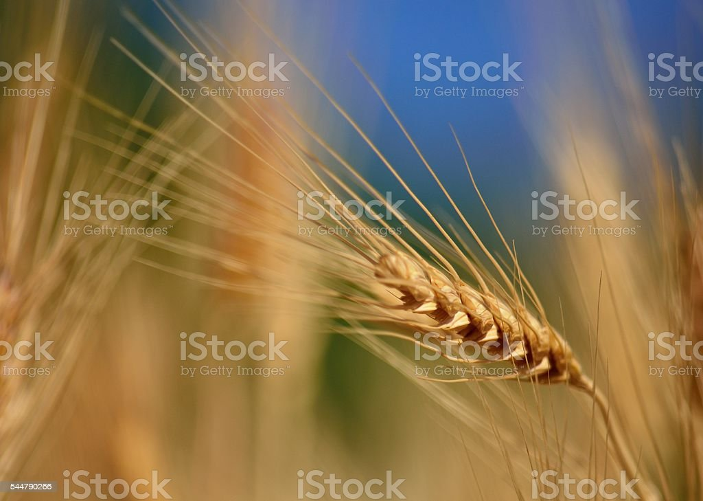 Wheat spike isolated stock photo