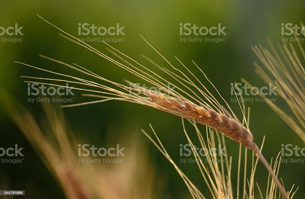 Wheat spike isolated with the green background stock photo