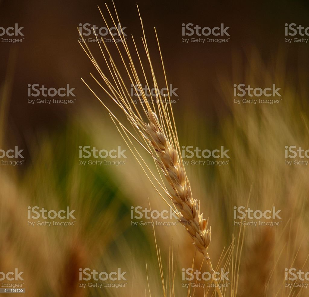 Wheat spike isolated with unfocused background stock photo
