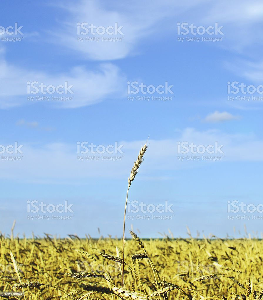 wheat spike royalty-free stock photo