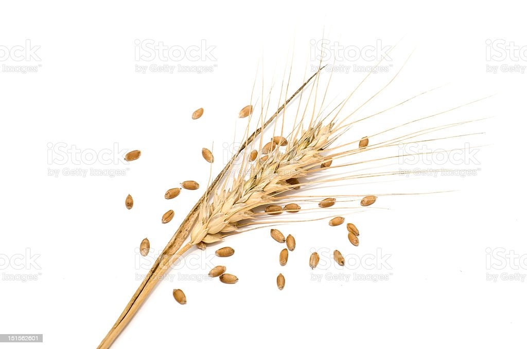 Wheat spike with seeds stock photo