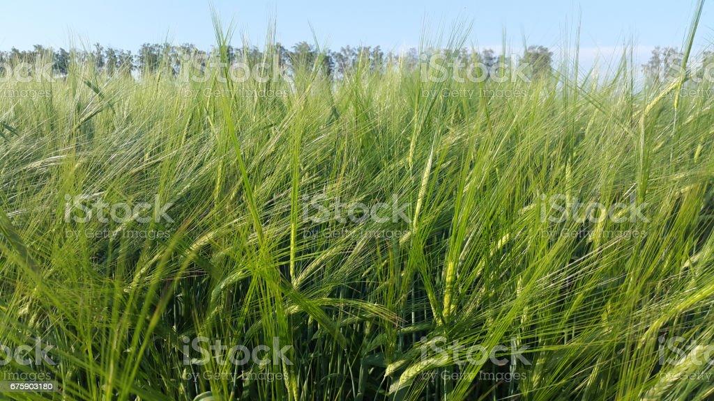 wheat spikelets - green field under blue sky stock photo