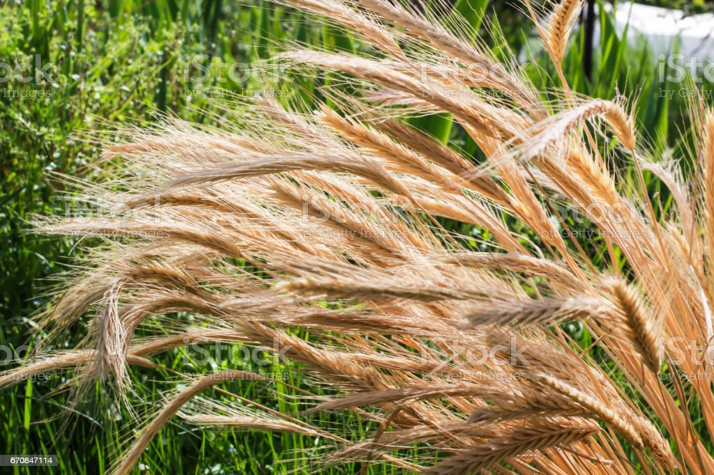 Wheat spikelets. Harvest. Nature, field, agriculture, farm life. stock photo