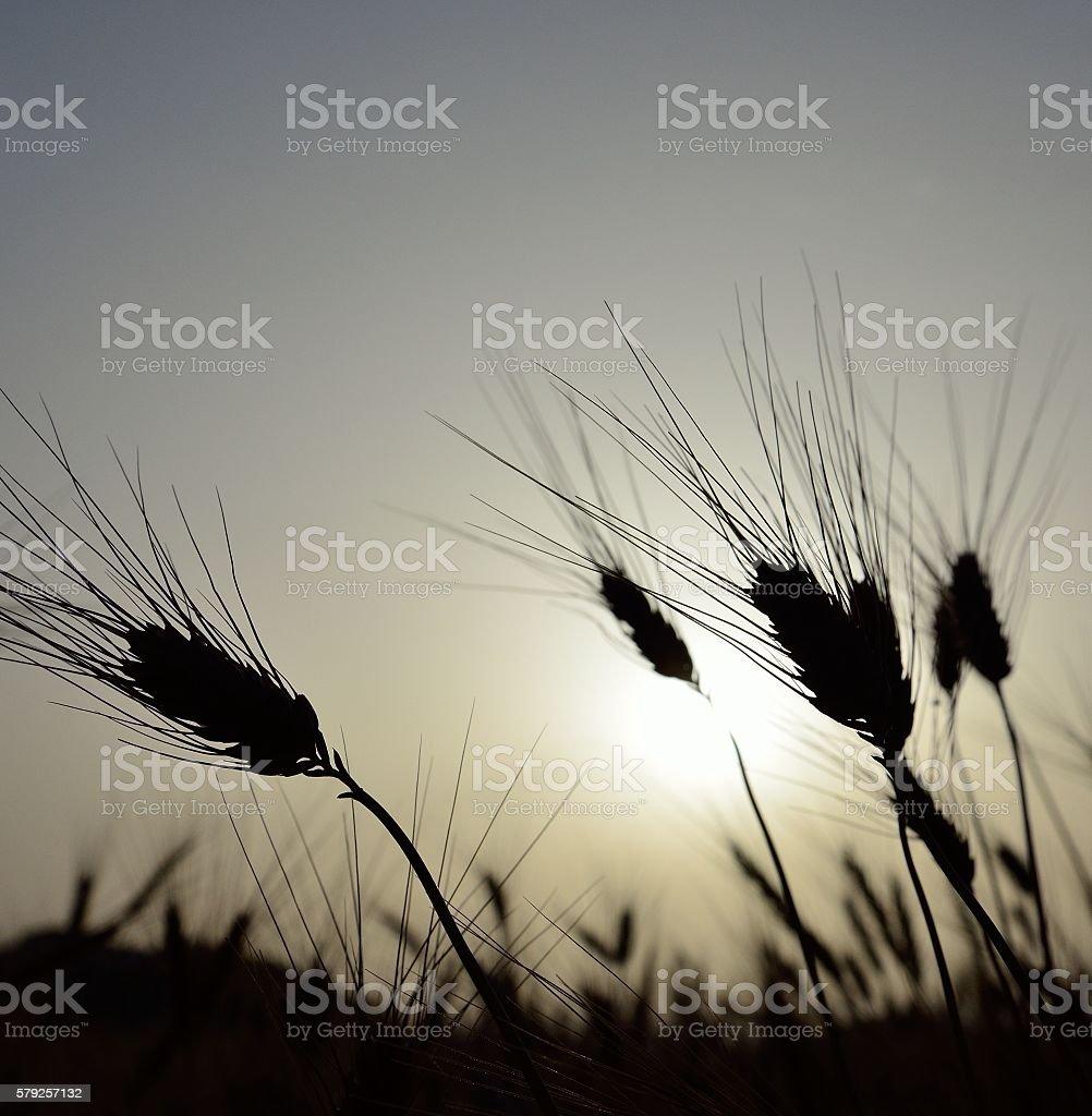 Wheat spikes at sunrise stock photo