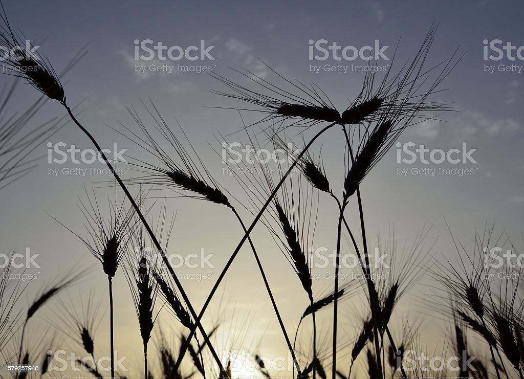 Wheat spikes backlit stock photo