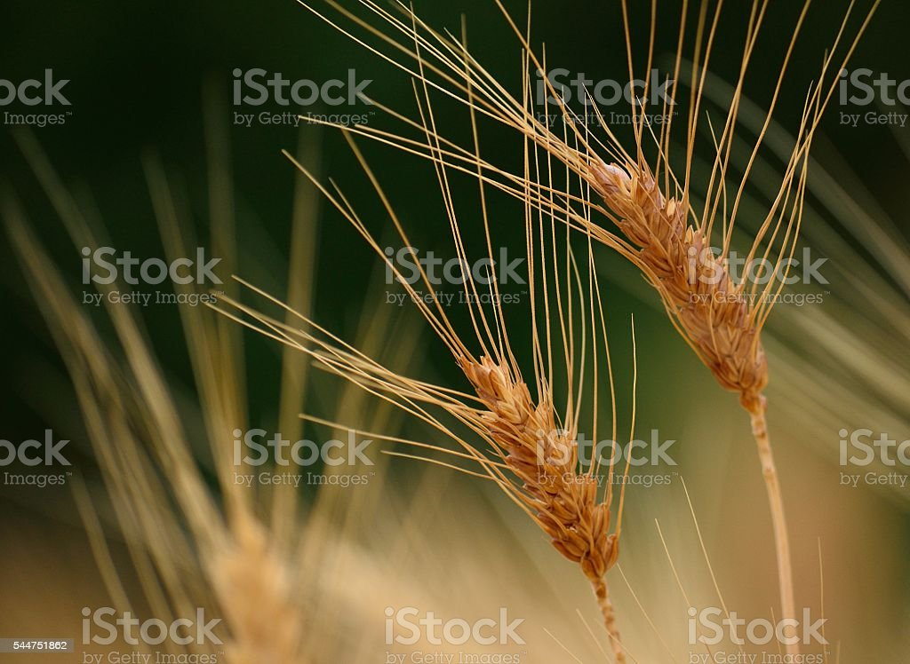 Wheat spikes in early summer stock photo