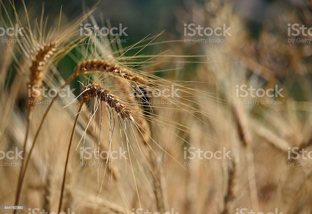 Wheat spikes in foreground with unfocused background stock photo