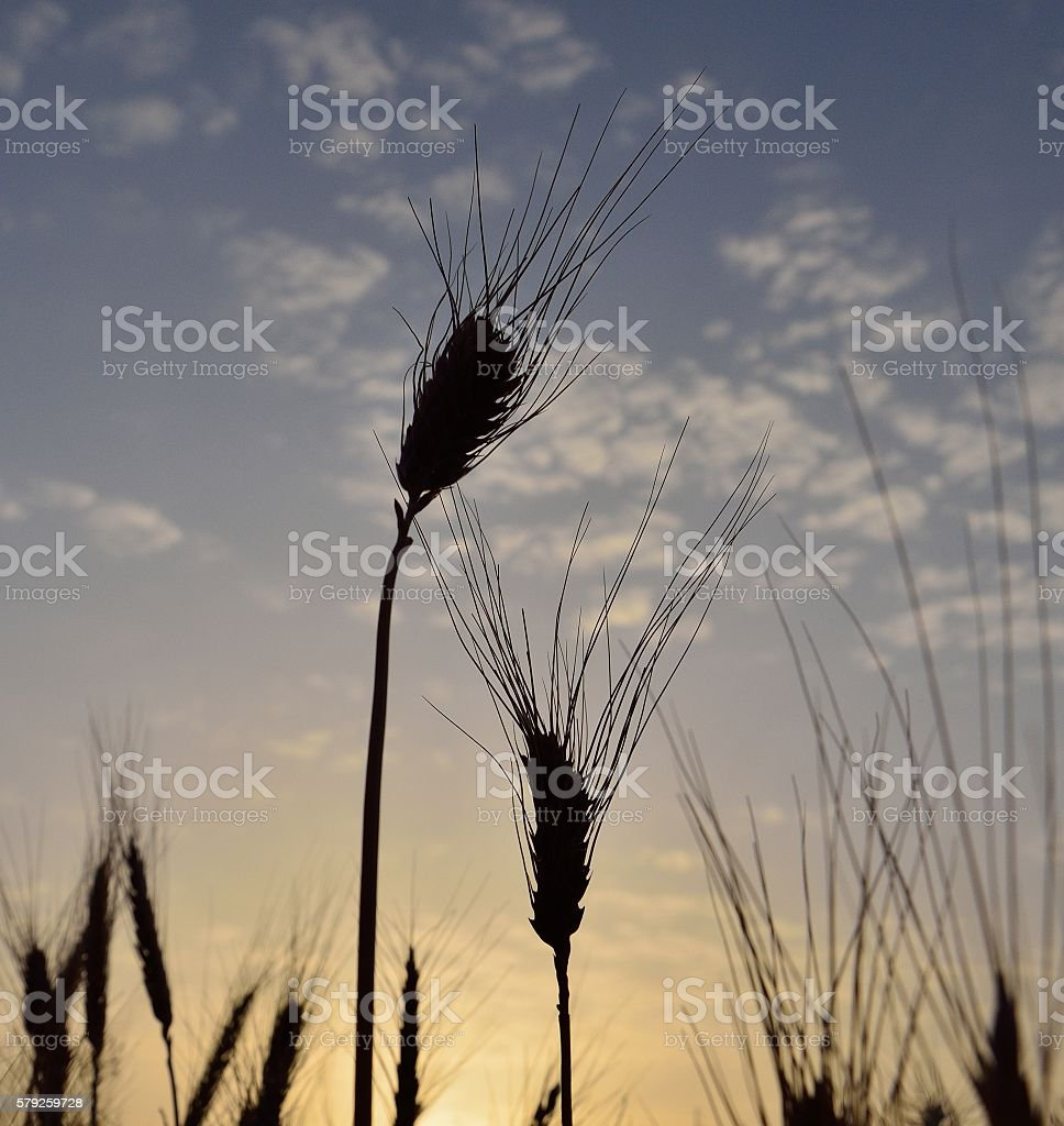 Wheat spikes isolated stock photo
