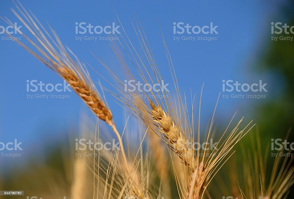 Wheat spikes isolated with the blue and green background stock photo
