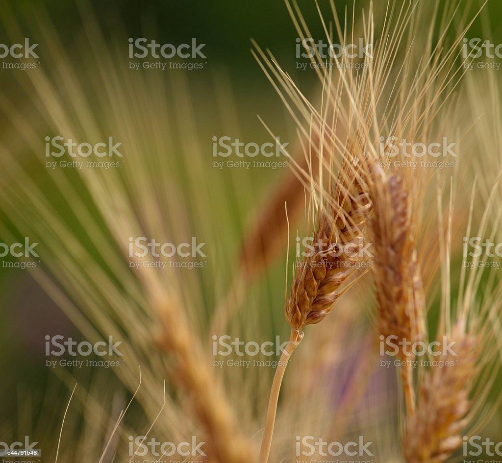 Wheat spikes stock photo