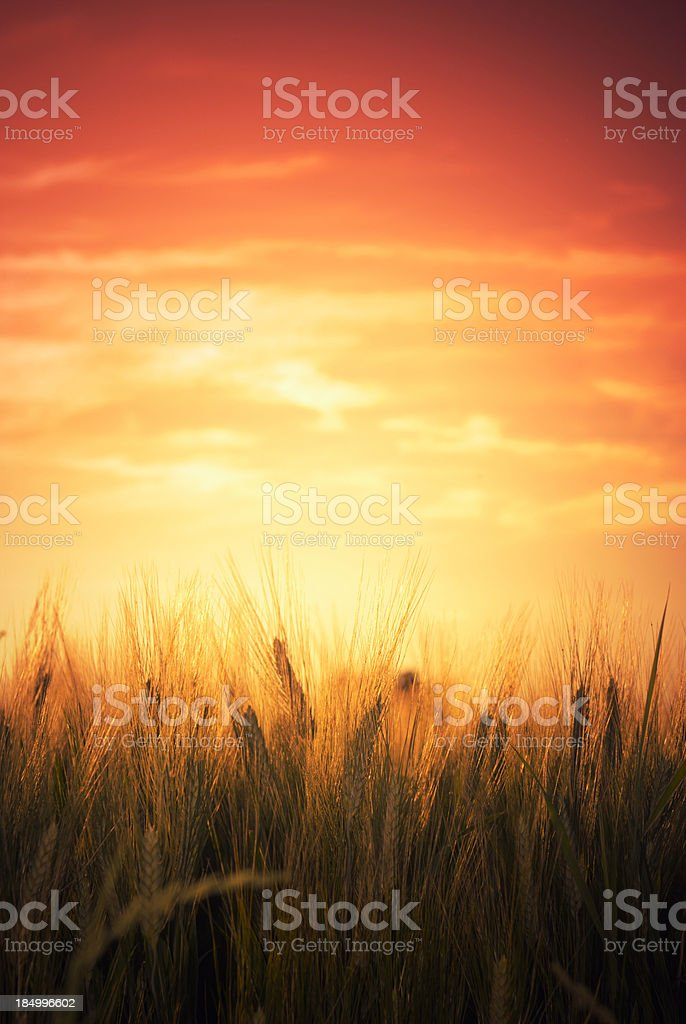 Wheat spring field at dusk stock photo