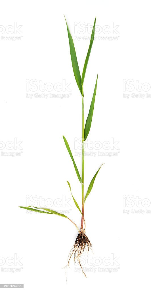 wheat sprout stock photo