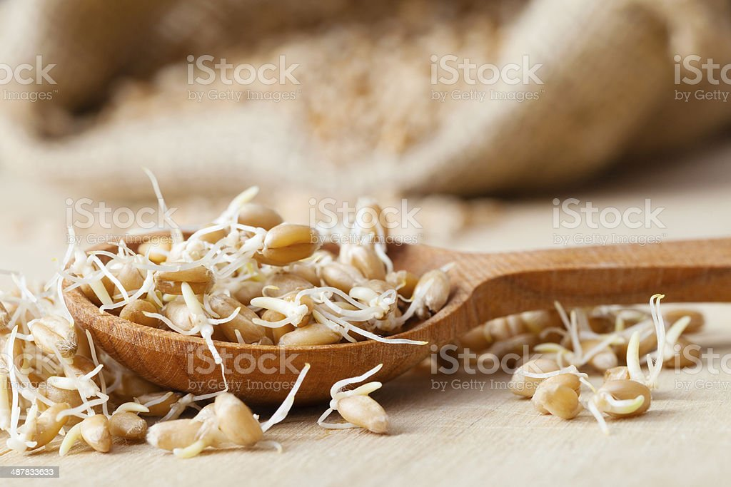 wheat sprouts in wooden spoon stock photo