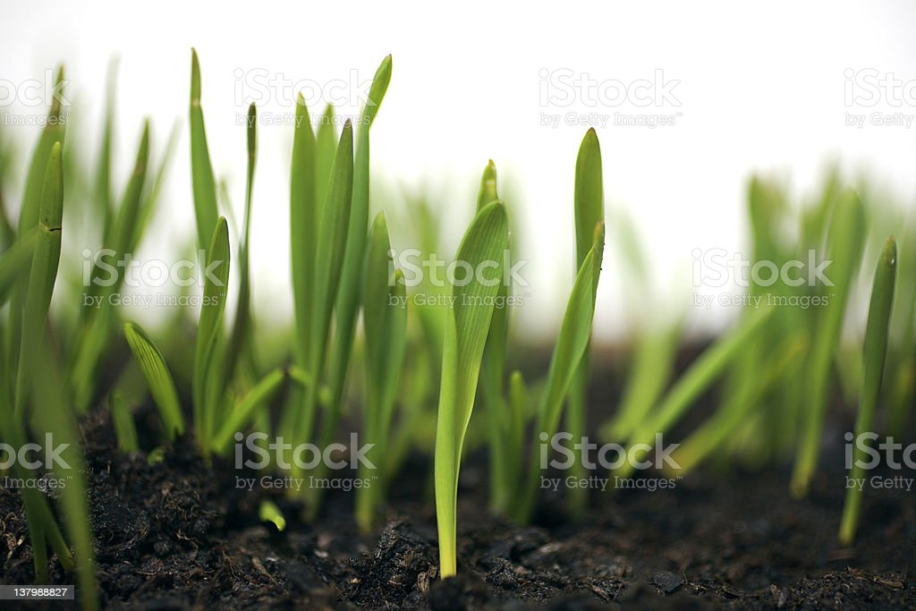wheat sprouts royalty-free stock photo
