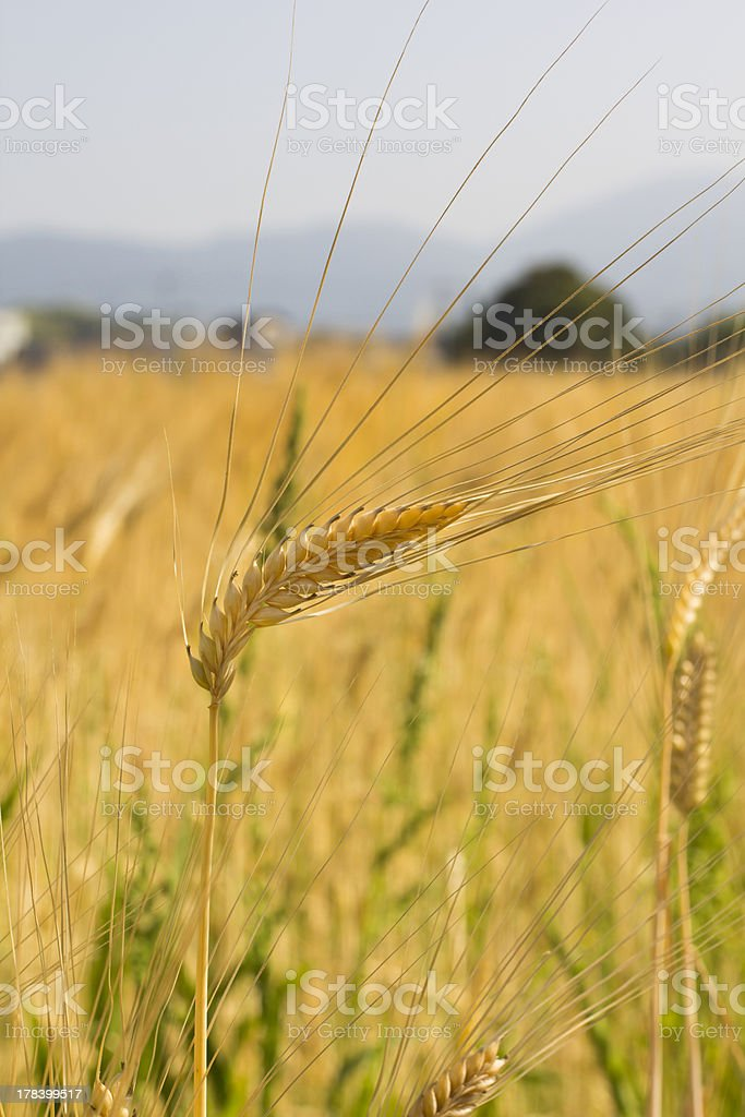 Wheat Stalk royalty-free stock photo