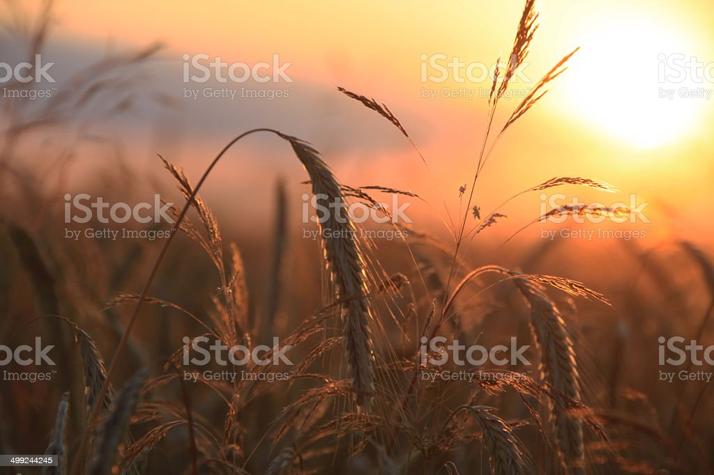 Wheat stalks at sunset stock photo