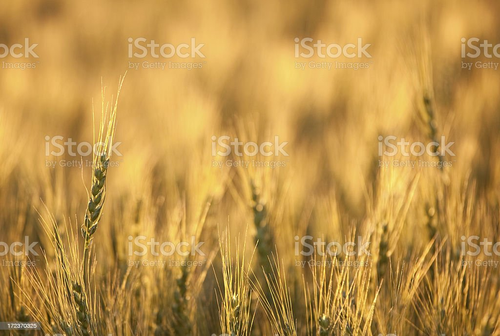 Wheat Stalks royalty-free stock photo