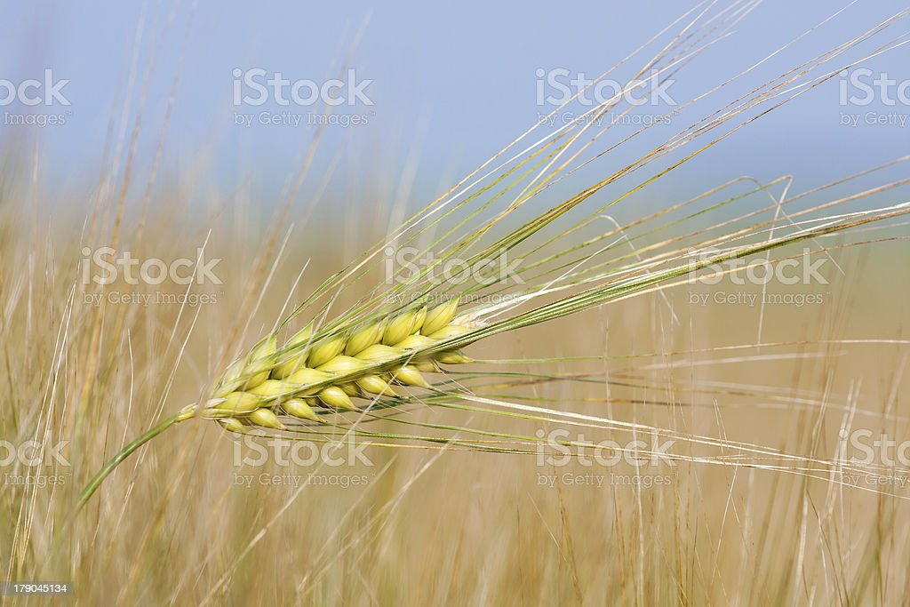 Wheat straw on a summer day in the field royalty-free stock photo