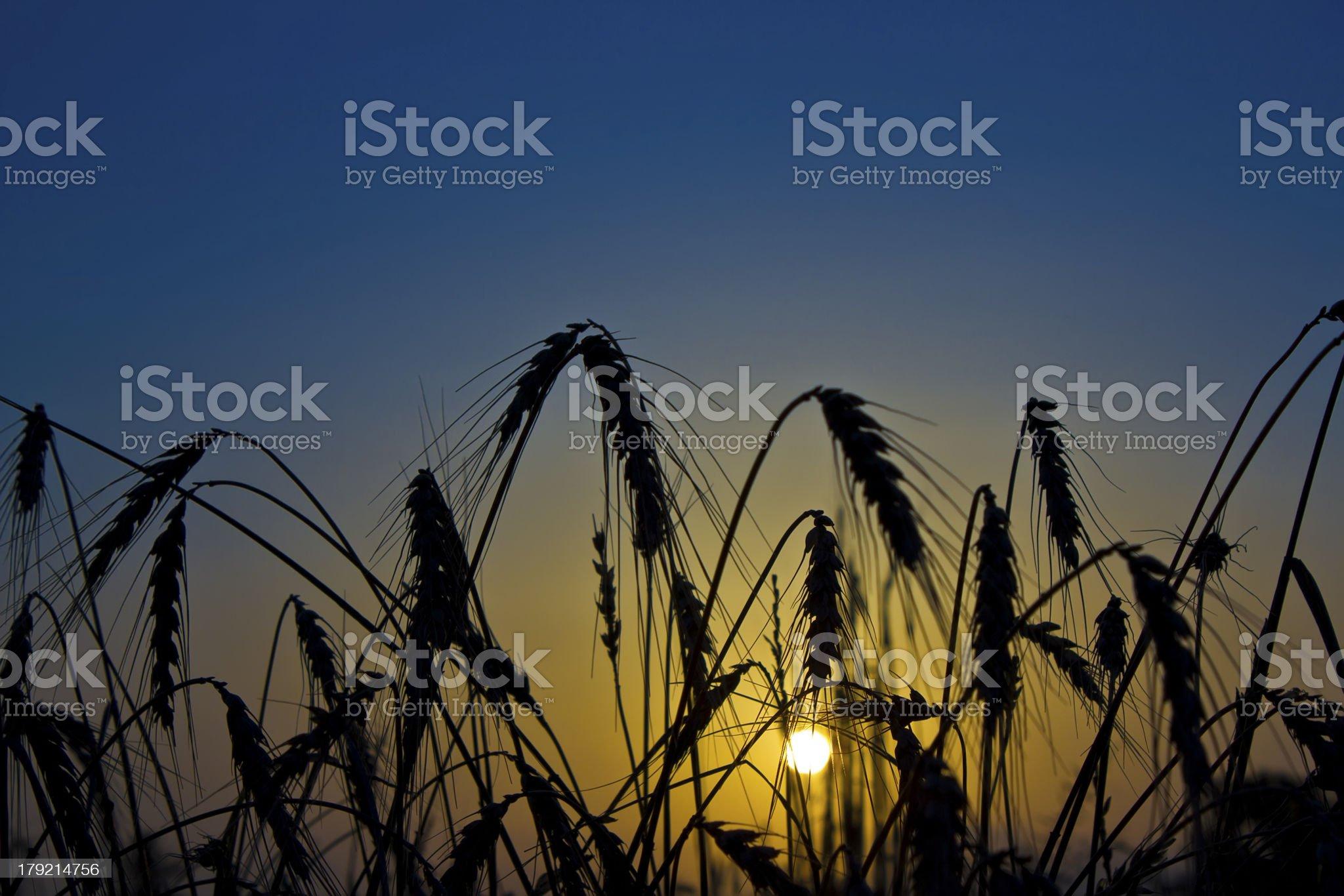 Wheat Sunrise royalty-free stock photo