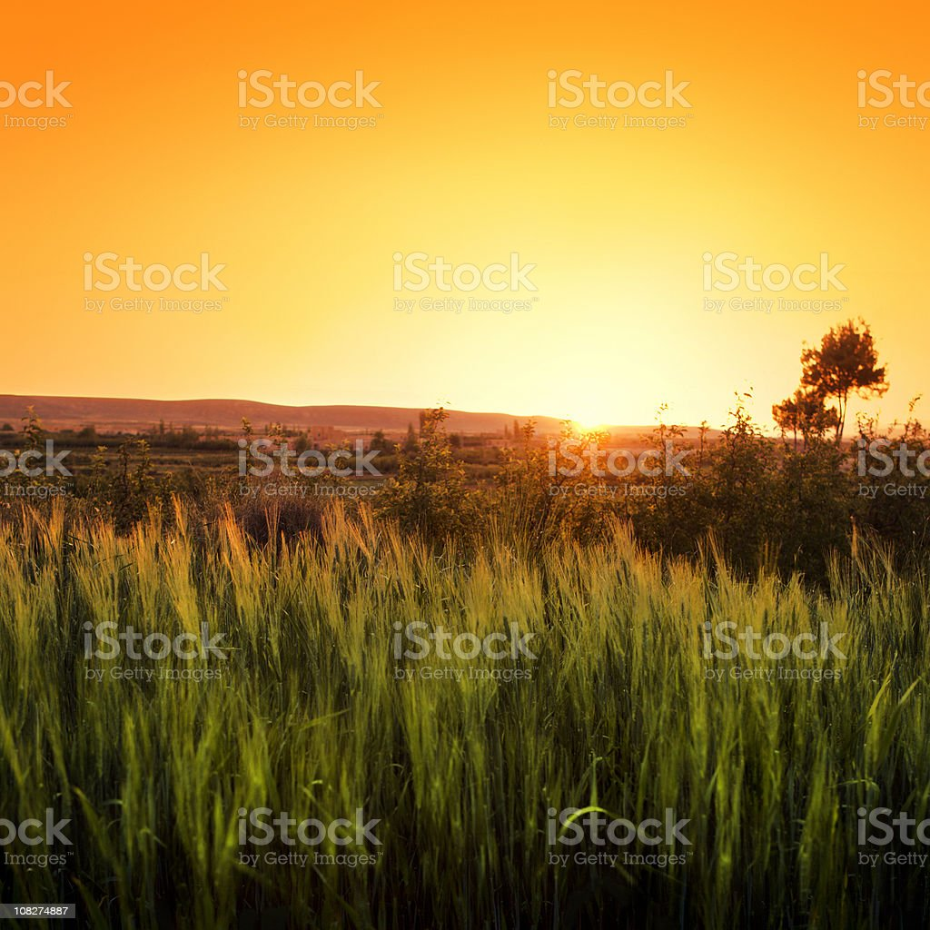 Wheat under a Golden Sunset royalty-free stock photo