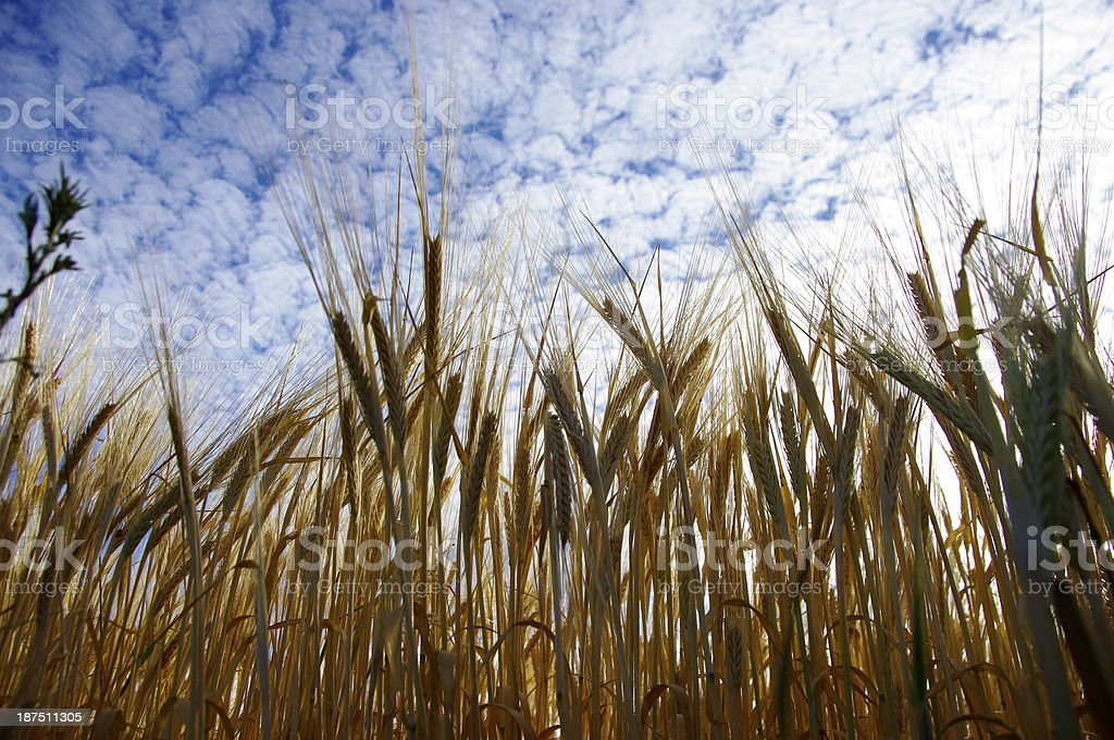 Wheat up to the sky royalty-free stock photo