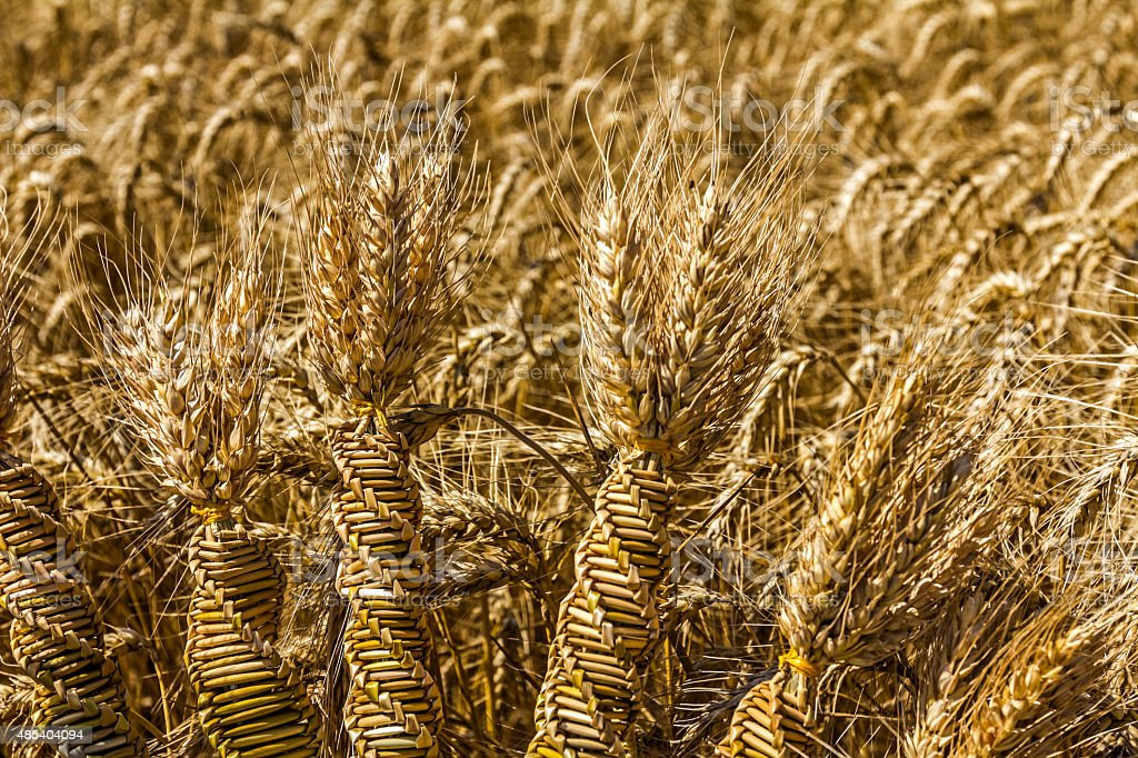 Wheat weaving, twisted grain like a DNA array. stock photo