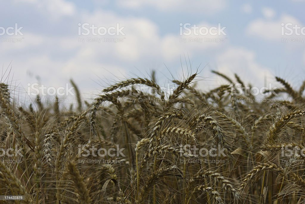 Wheat with blue cloudy sky royalty-free stock photo