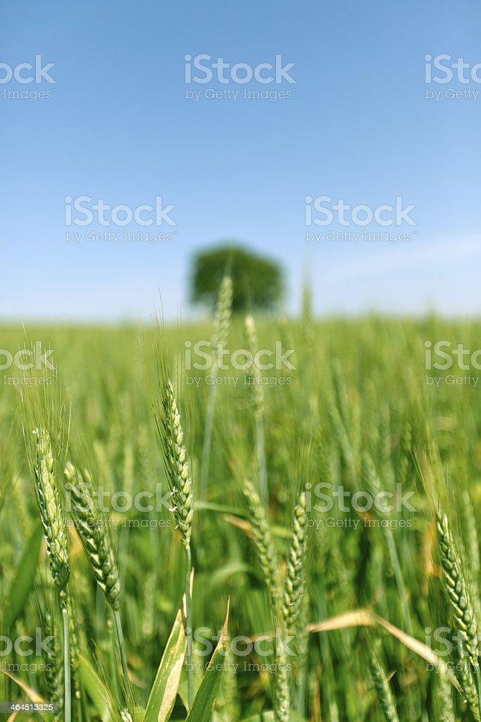 Wheat Yard royalty-free stock photo