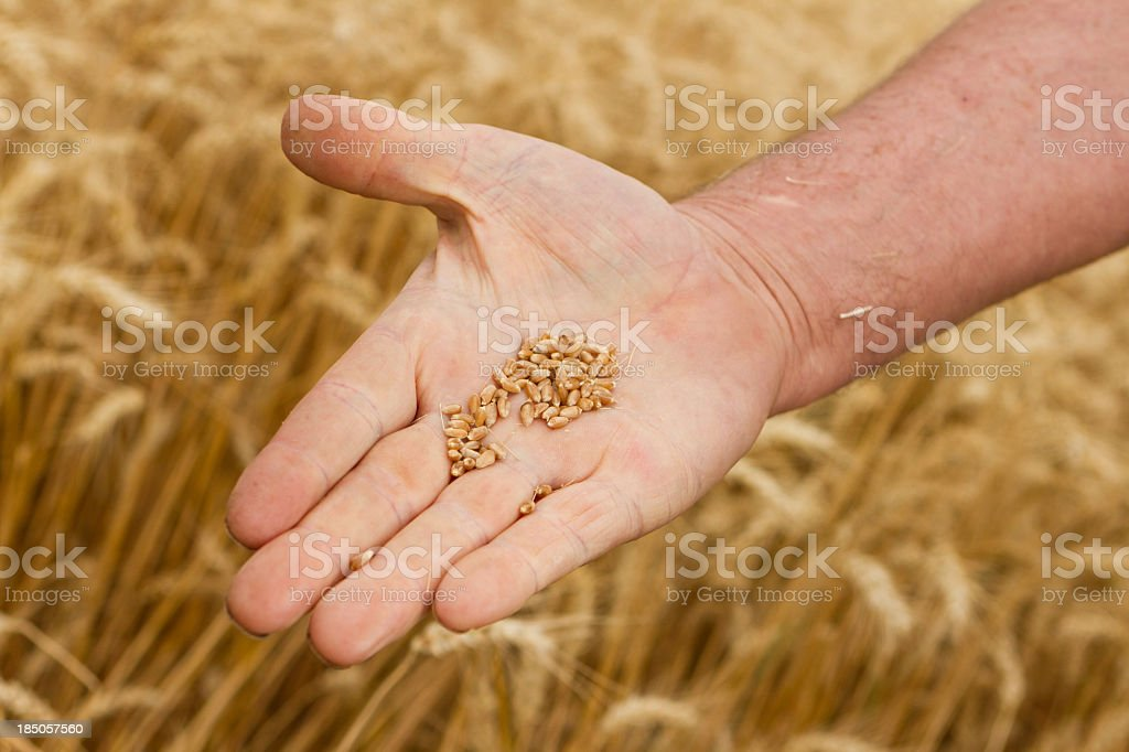 Wheat yield stock photo