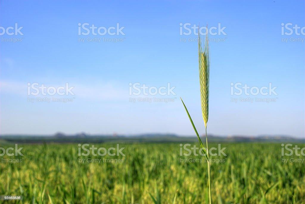 wheat2 stock photo