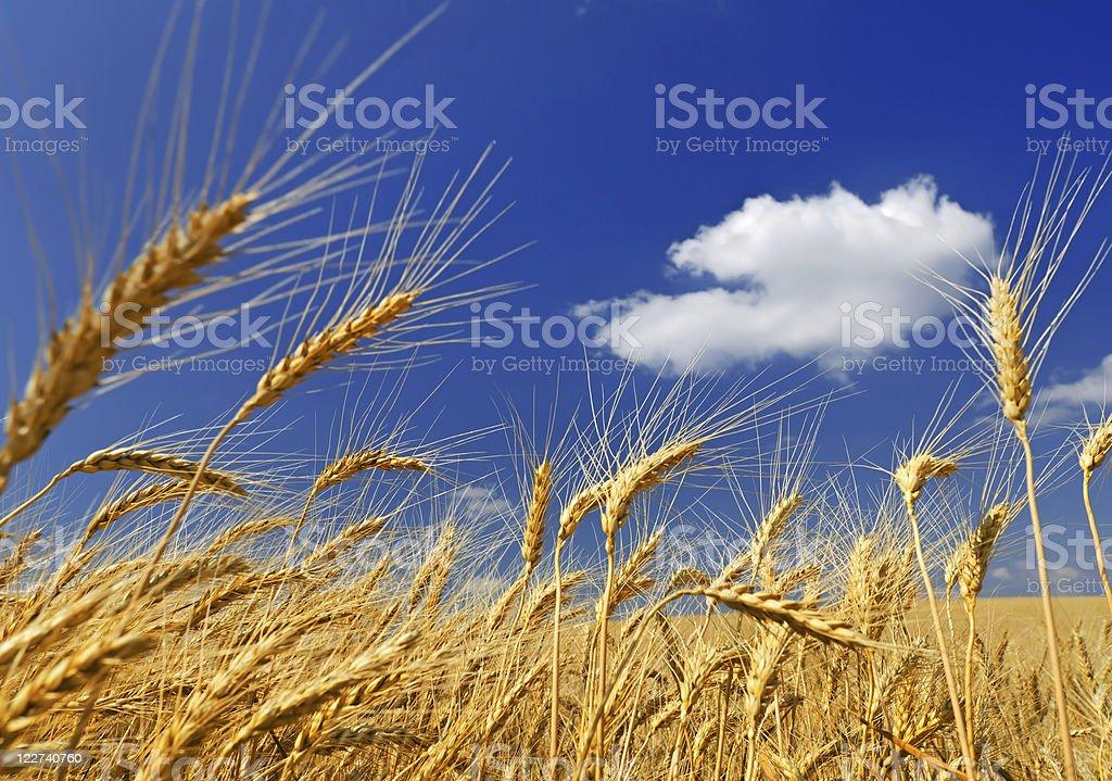 Wheaten field royalty-free stock photo