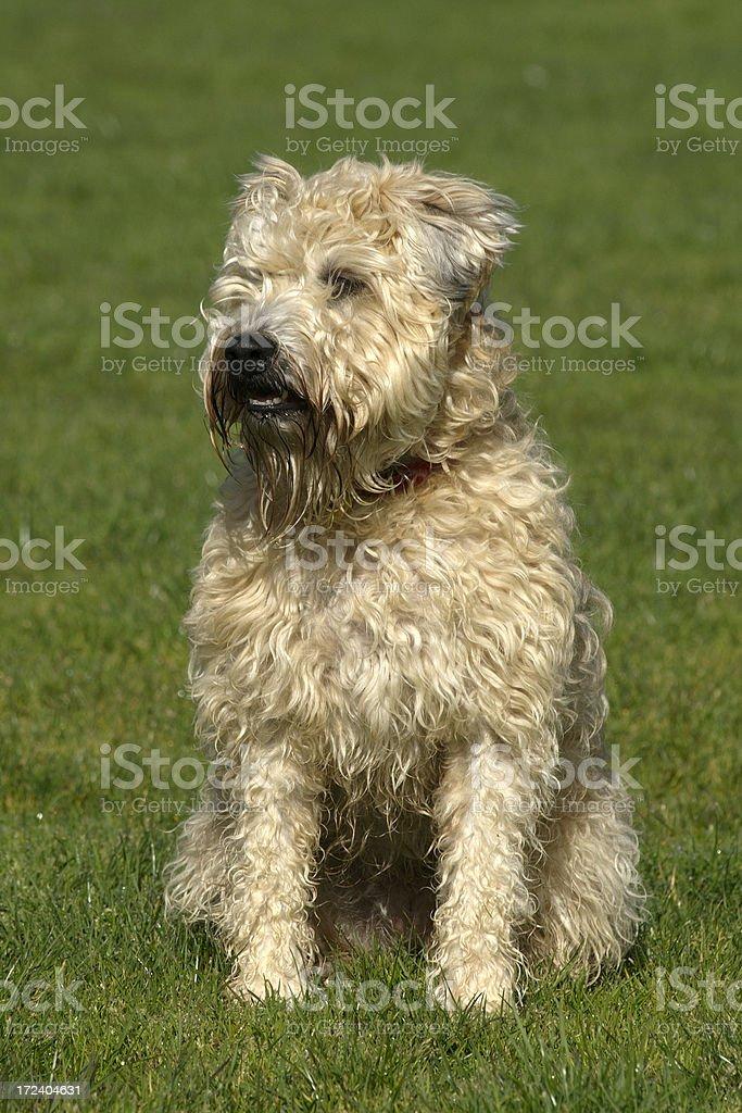 Wheaten Terrier in Field looking away royalty-free stock photo