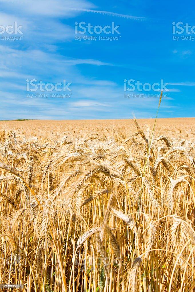 Wheatfield against blue fluffy cloudy sky stock photo
