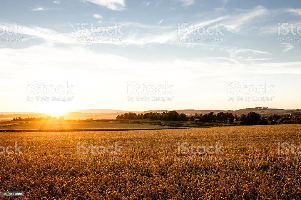 Wheatfield at sunset stock photo