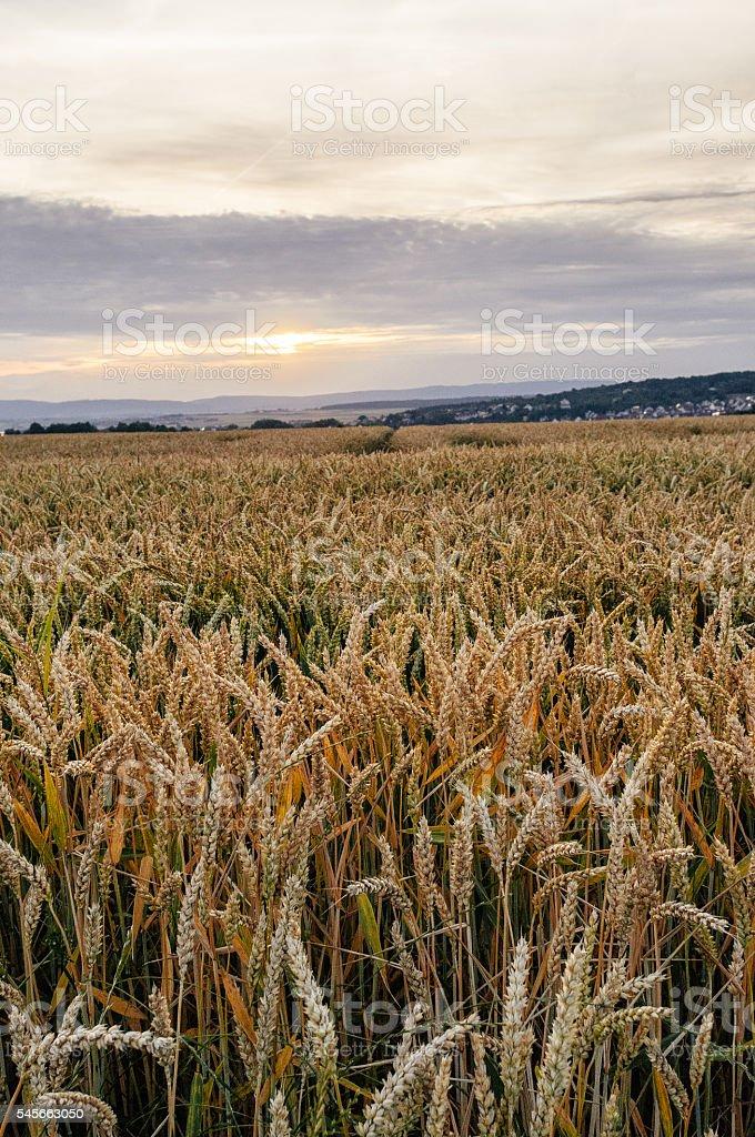 Wheatfield by sunset stock photo