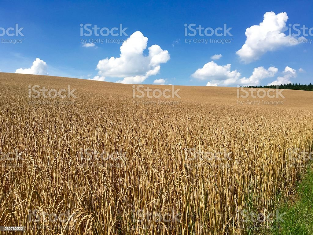 Wheatfield in july just short before harvest stock photo
